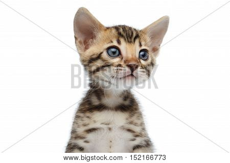 Portrait of Newborn kitty of bengal breed isolated on white background