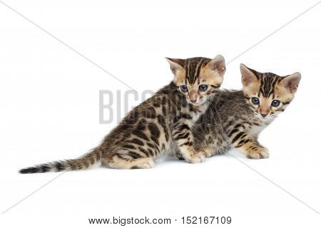 Two Cute Newborn kittens of bengal breed isolated on white background