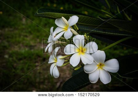 Plumeria flower with nature background to create a beautiful