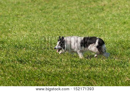 Stock Dog Tiredly Walks Left - at sheep dog herding trials