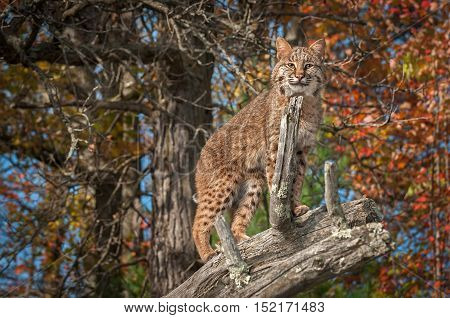Bobcat (Lynx rufus) Looks Out from Atop Branch - captive animal