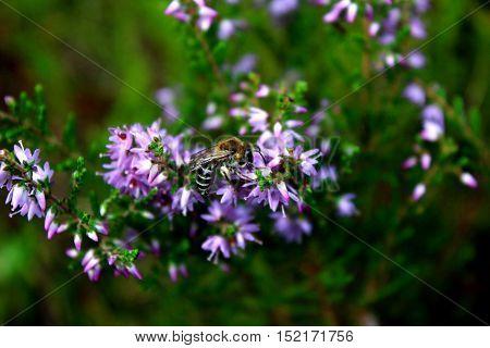 Honey bee feeding on a heather flower