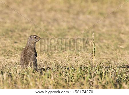 Uinta ground squirrel standing alone in grassy field