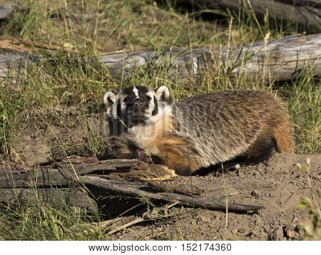 Full body view of american badger near burrow with sticks and logs