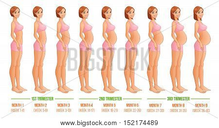Nine months of pregnancy progression. Vector illustration isolated on white backgeound.