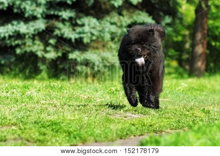 Beautiful fluffy dog breed Chow Chow rare black color runs in the summer outdoors on the green grass sticking his blue tongue from the heat