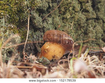 Edible boletus mushroom. Mushrooming in the fores