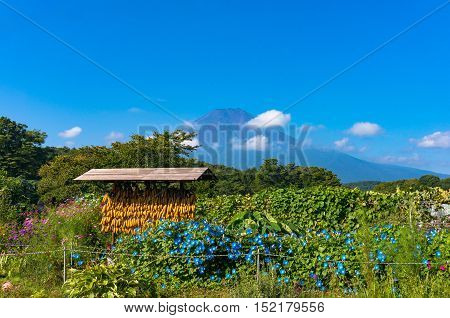 Japanese Rural Agriculture Scene With Dry Corn And Mount Fuji