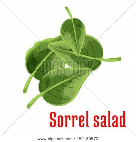 Sorrel vegetable green leaves isolated cartoon icon with fresh garden spinach dock. Healthy vegetarian salad recipe, organic farming and food packaging design