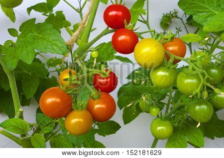Ripening red, green and yellow cherry tomatoes in greenhouse.