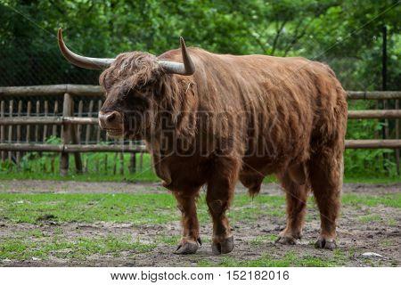 Scottish highland cattle (Bos primigenius taurus). Domestic animal.