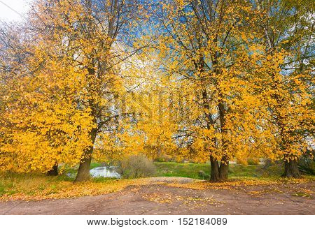 Yellow leaves of linden tree in autumn