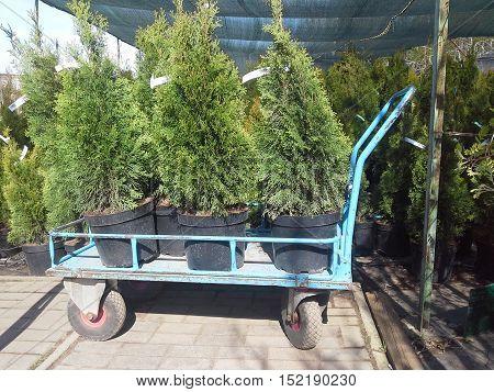Arborvitae Seedlings On A Trolley.