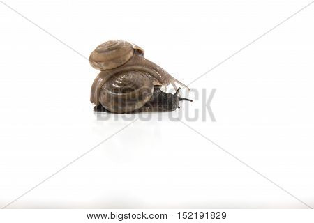 Two Snails Are Climbing Together, On White Background ,snail Close Up,ubonratchathani,thailand.