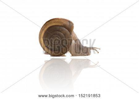 Garden Snail Isolated On White Background,snail Close Up,ubonratchathani,thailand.