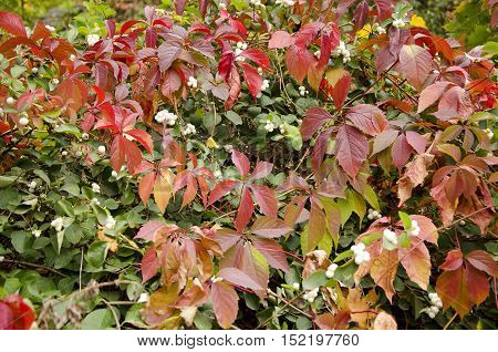 Virginia creeper leaves. Autumn leaves background. Autumn  scenery