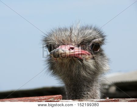 Head of an ostrich close-up at the farm