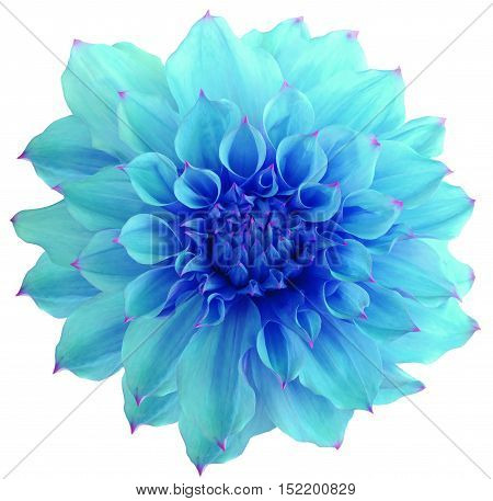 Dahlia flower white background isolated with clipping path. Closeup. with no shadows. Macro. Nature. blue.