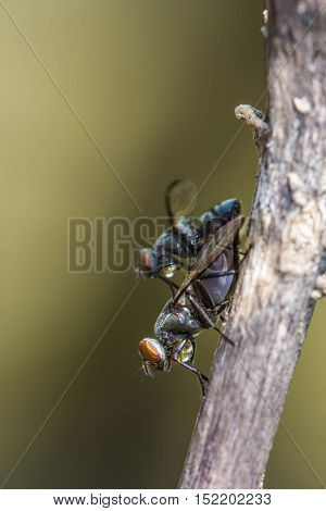 Wild flies mating.(Lispe tentaculata) on nature background