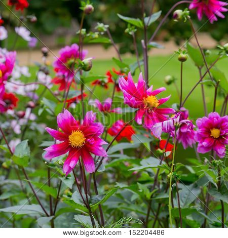 Beautiful Red Pink Blooming Dahlias In Cottage Flower Border