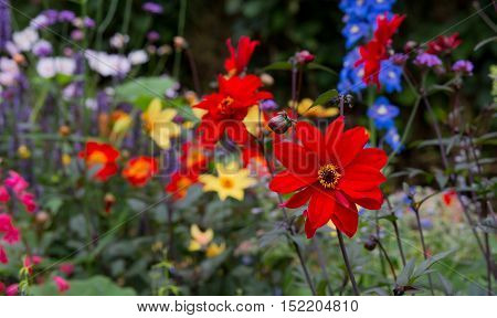 Beautiful Red Blooming Dahlias In Cottage Flower Border