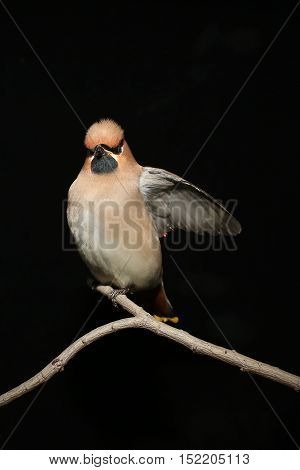 the Bohemian Waxwing on a black background