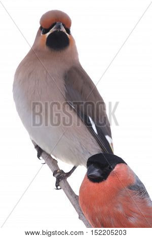 Bohemian Waxwing and bullfinch on a white background
