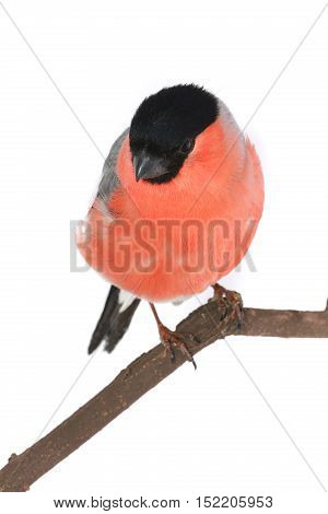 male bullfinch on a white background. studio