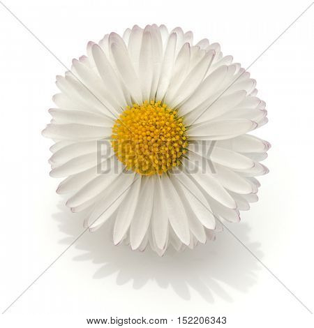 Beautiful single daisy flower isolated on white background cutout
