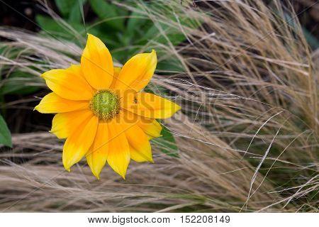 Rudbeckia Bright Yellow Flower With Ornamental Garden Grasses