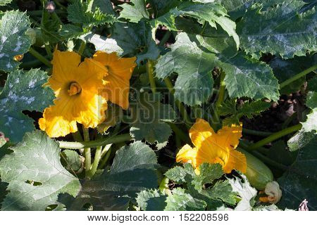 Zucchini or courgette with flowers in a vegetable garden.