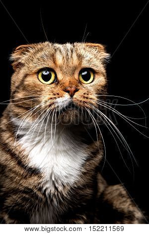 Portrait of Scottish Fold cat, closeup, on a black background