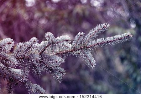 A toned photo with fir branches background, selective focus.
