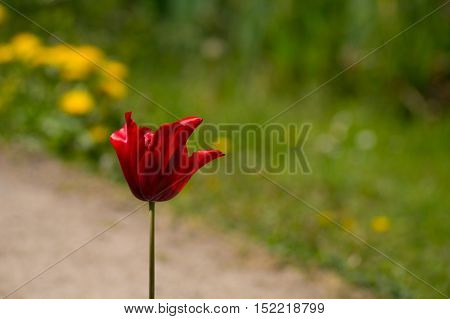 Close up of a beautiful red tulip