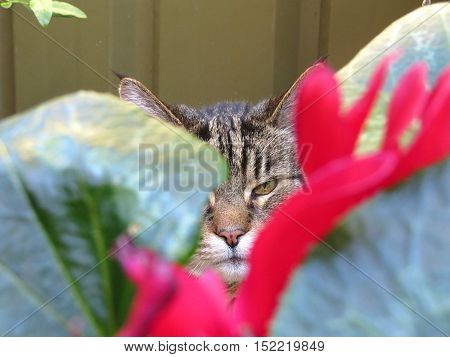 Close up of a tabby cat tiger eye peering through garden plant foliage