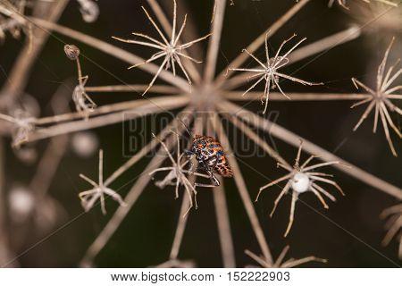 Smith Wingless, Pyrrhocoris Apterus, Sitting On A Dry Bush