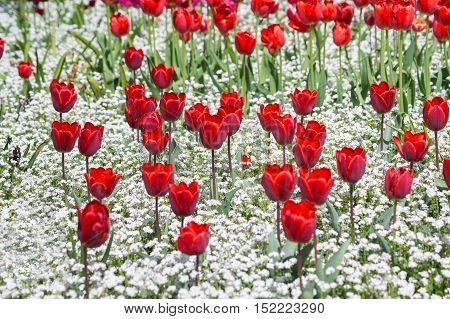 Focus on a field full of Red Flower. Beautiful red flowers