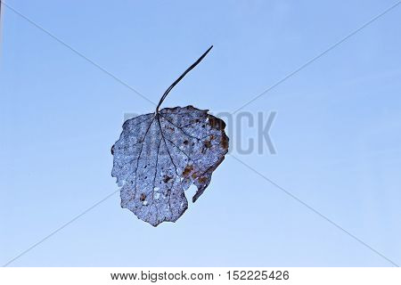 Veins of dry leaf of birch on a background of blue sky