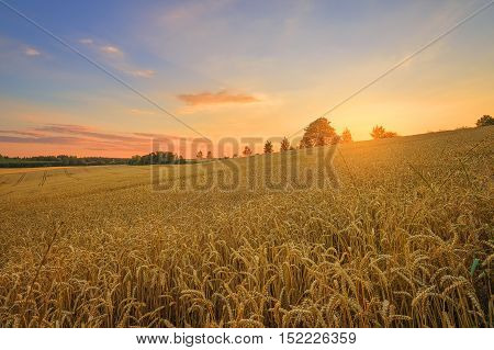 The Czech countryside. Wheat field at sunset.