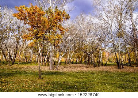 tree with yellow leaves on the green grass with background of trees with fallen leaves