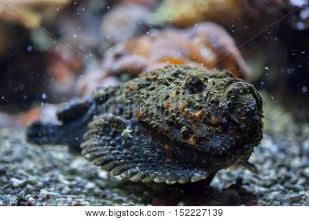 Reef stonefish (Synanceia verrucosa), also known as the stonefish. Wildlife animal.