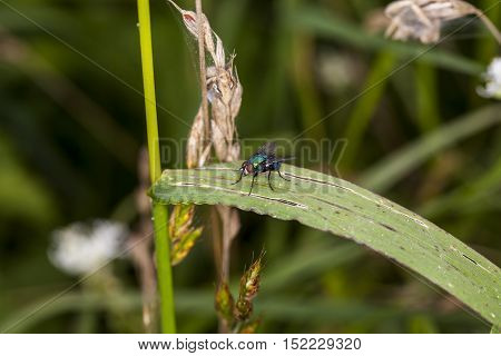 Common Fly Sitting On The Grass
