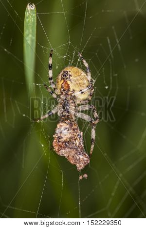 Spider Caught Its Prey, Food For Later