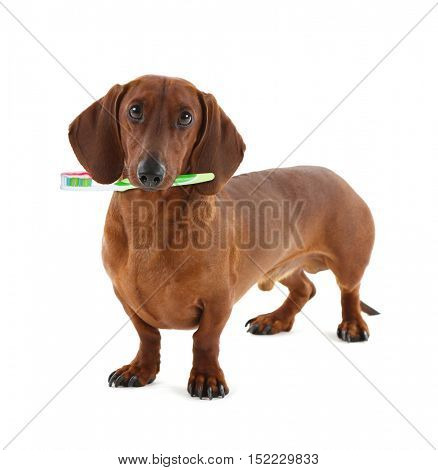Dachshund with tooth brush, isolated on white