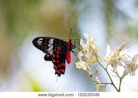 red butterfly on a wonderful white flower