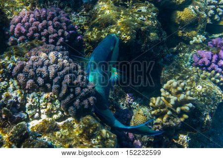 Parrot fish swimming over the corals and eating. Red sea. Egypt.