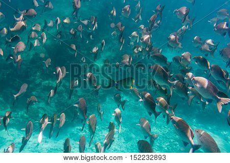 Lots of grey fish underwater. Indian ocean.