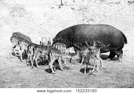 Hippopotamus surrounded with Spotted Deers. Everyone is comfortably having there Meal. Safari Park in Costa Blanca Spain. Black and white