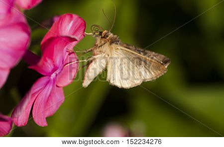 a brown moth pollinating a pink flower