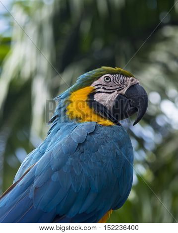 balinese blue exotic wild  parrot on the palm